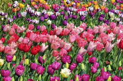 Red and pink tulips Stock Image