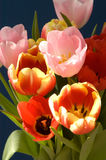 Red And Pink Tulips. On Dark Blue Background stock image