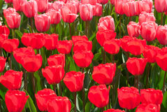 Red and pink tulips. Royalty Free Stock Photos