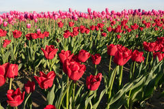 Red Pink Tulips Bend Towards Sunlight Floral Agriculture Flowers Stock Photos