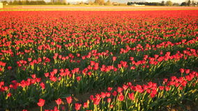 Red Pink Tulips Bend Towards Sunlight Floral Agriculture Flowers stock footage