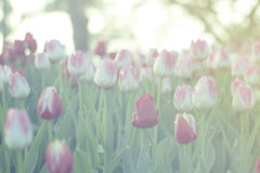 Red and pink tulips blooming in spring garden with sun flare background, green toned Stock Photos