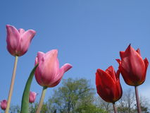 Red and pink tulips. On blue sky Royalty Free Stock Photography