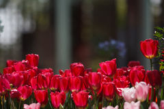 Red and pink tulips. With blur background Royalty Free Stock Image