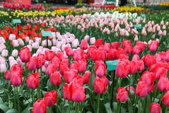 Red and pink tulips close-up in the Netherlands in Keukenhof stock photo