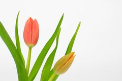 Red and pink tulips. Close up of red and pink tulip isolated on white background. fantastic color and details royalty free stock images
