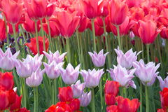 Red and pink tulips on a flower bed. Spring flowering of tulips in the park, Kiev Ukraine Royalty Free Stock Images