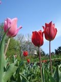 Red and pink tulips. In the garden Royalty Free Stock Photo