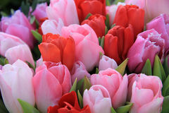 Red and pink tulips Stock Photography
