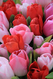 Red and pink tulips Stock Images