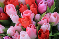 Red and pink tulips Stock Photo
