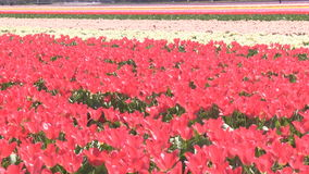 Red and pink tulips in The Netherlands. Red and pink tulips in a field near The Keukenhof in The Netherlands stock video footage