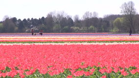 Red and pink tulips in The Netherlands. Red and pink tulips in a field near The Keukenhof in The Netherlands stock footage