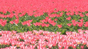 Red and pink tulips in The Netherlands. Red and pink tulips in a field near The Keukenhof in The Netherlands stock video