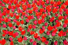 Red and pink tulips in the park as floral background. Royalty Free Stock Photos