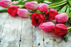 Red and pink tulips Royalty Free Stock Image