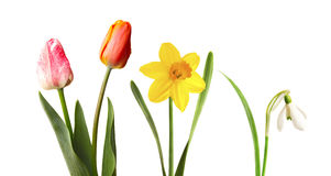 Red and pink tulips, yellow narcissus and snowdrop, isolated on white. Background Stock Image