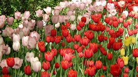 Red, pink and white tulips on colorful field. Beautiful flowers from annual Tulip festival. stock video footage