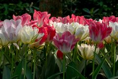 Brightly coloured red, pink and white tulips at Keukenhof Gardens, Lisse, Netherlands. Keukenhof is known as the Garden of stock image