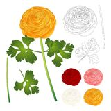 Red, Pink, White, Yellow Ranunculus Flower and outline. Vector Illustration. isolated on White Background Stock Photos