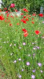 Red and pink wild flowers. In summer garden Stock Photography