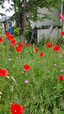 Red and pink wild flowers. In summer garden Stock Photos