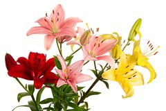 Red, pink and yellow flowers. Lilies on white background. Red, pink and yellow flowers. Lilies isolated on white background Royalty Free Stock Images