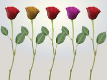 Red pink yellow stem roses Stock Images