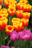 Red pink yellow tulip exposition Stock Photo