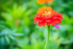 Red pink Zinnia flower top view in summer garden (Zinnia violace Royalty Free Stock Photo