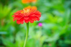 Red pink Zinnia flower top view in summer garden (Zinnia violace Stock Photo
