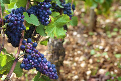 Red pinot noir red wine grapes Burgundy french vineyard France, close up Royalty Free Stock Photography