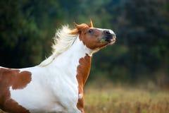 Piebald horse portrait royalty free stock photos