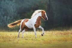 Red pinto run. Piebald horse run gallop on meadow stock images