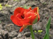 Red pion-like tulip Royalty Free Stock Photos