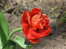 Red pion-like tulip Royalty Free Stock Photography