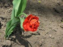 Red pion-like tulip Stock Image