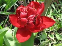 Red pion-like tulip Stock Photos