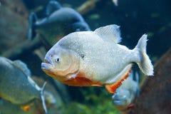 Red piranha. Closeup underwater image of a Red piranha Stock Photos