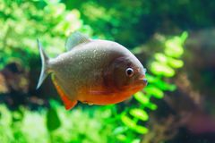 Red Piranha Stock Photo