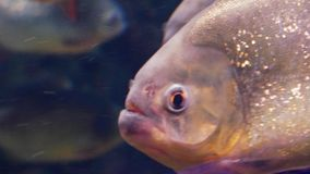 The red piranha close up. Red-bellied piranha, also known as the red piranha close up Pygocentrus nattereri stock footage