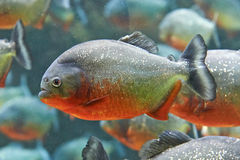 Red piranha (Pygocentrus nattereri) Stock Photography