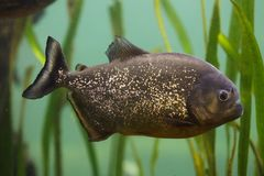 Red piranha Pygocentrus nattereri. Also known as the red-bellied piranha Royalty Free Stock Image