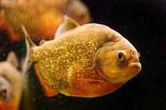 Red piranha (Serrasalmus nattereri) Stock Image