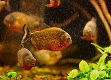 Red piranha (Serrasalmus nattereri) Stock Images