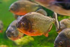 Red piranha. Or Serrasalmus nattereri, in aquarium, Barcelona, Spain Royalty Free Stock Images