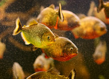 Red piranha swimming underwater Royalty Free Stock Photography