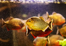 Red piranha swimming underwater Royalty Free Stock Images