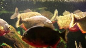 Red piranhas in aquarium. Pygocentrus nattereri stock video footage