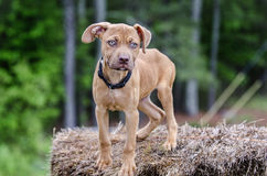 Red Pitbull puppy dog. Skinny thin male pit bull pup dog. Walton County Animal Control Shelter photography, humane society, outdoor pet photography, Monroe Royalty Free Stock Photo